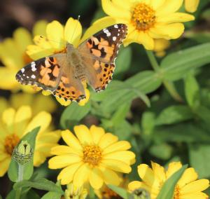 painted lady croppedysjt